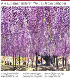 wisteria in Ashikaga, Japan