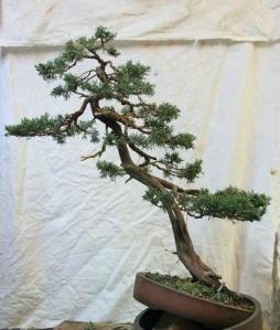 juniper after