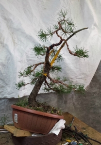 pinus sylvestris after